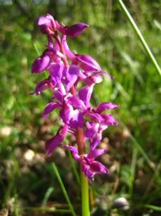 orchidee-sauvage