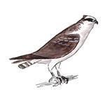 balbuzard-pecheur