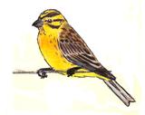 bruant-jaune