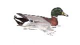 canard-colvert