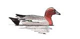 canard-siffleur