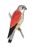 faucon-crecerelle
