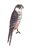 faucon-hobereau