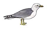 goeland-leucophee