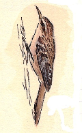 grimpereau