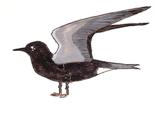 guifette-noire