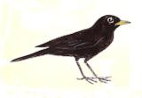 merle-noir
