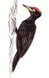 pic-noir