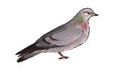pigeon-colombin