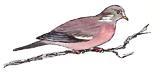 pigeon-ramier
