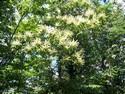 fleur-chataignier-chatenay