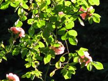 rose1-jpg