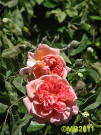 rose3-jpg
