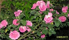 rose5-jpg