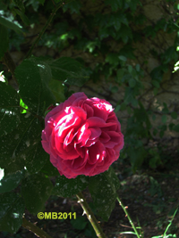 rose6_200-jpg