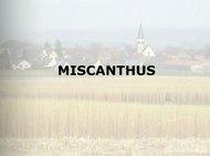 le-miscanthus-a-ammertzwiller