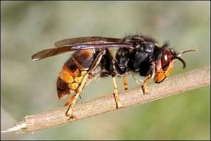 frelon-asiatique-vespa-velutina