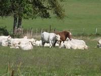 paturages-troupeaux-vaches-et-chevaux-2